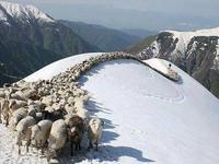 Αετομηλίτσα-κοπάδι πρόβατα